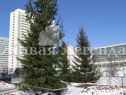 Хвойные деревья-крупномеры - зимняя посадка