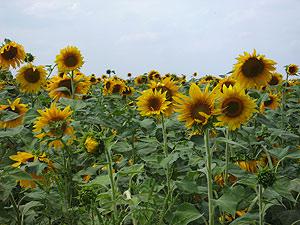Выбираем по цвету многолетние цветы