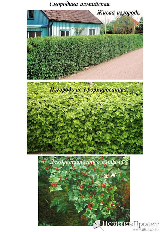 Смородина как живая изгородь