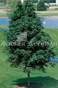 Посадка деревьев - крупномеры
