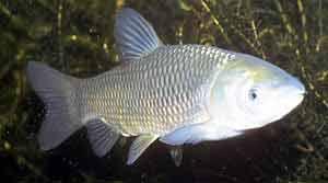 Белый амур - крупная рыба, достигает более 120 см длины и 30 кг веса.